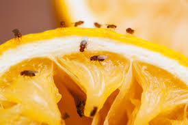 fruit flies in sink 11 highly effective ways to get rid of fruit flies for good