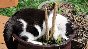 a stray catnip plant popped up in our backyard our cats have been