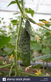 cucumber fruit growing stock photos u0026 cucumber fruit growing stock