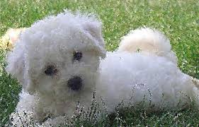 bichon frise whining bichon frise once a fierce hunting dog black dog outfitters