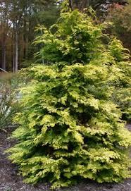 golden hinoki false cypress tree i want one of these trees