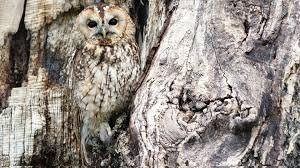 free owl in a tree chromebook wallpaper ready for