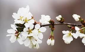 japanese flowering cherry tree early
