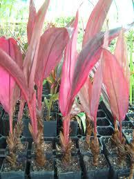 propagating australian native plants cordylines how to propagate cordylines gardening blog lush