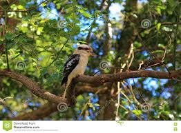 australian native shade plants kookaburra in eucalyptus tree stock photo image 70356245