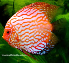 the meaning of ornamental fish ornamental aquarium fish