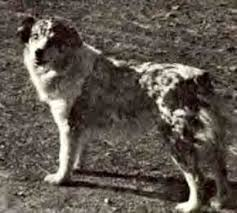 australian shepherd kinds aussie origin and breed history all about aussies the total