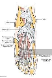 Foot Tendons Anatomy Illustration Of Foot Anatomy Stock Illustration Getty Images