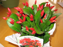 holiday cactus at any time of year the dirt