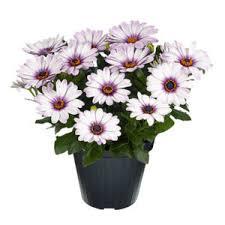 dalia in vaso dalia vaso 12 floricoltura magnani di magnani gianpaolo