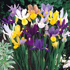 iris flower bulbs buy wholesale iris bulbs u2013 dutchgrown