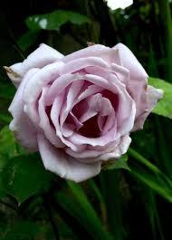 Lavender Roses Lavender Rose Heretherebespiders