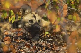 safari ltd african wild dog wild dog photo gallery by neil aldridge discover wildlife
