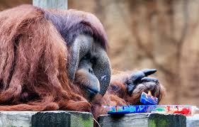 Houston Zoo Lights Prices by Houston Zoo Finds Out Orangutan Is Obsessed With Painting Puts