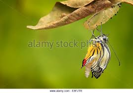 butterfly cocoon stock photos butterfly cocoon stock images alamy