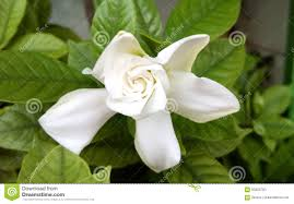 cape jasmine or gardenia jasmine flower stock photo image 93833750