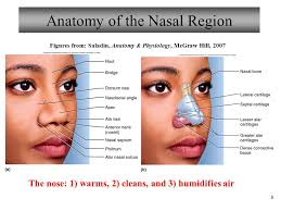 Nose Anatomy And Physiology Chapter 22 Respiratory System Lecture 7 Ppt Video Online Download
