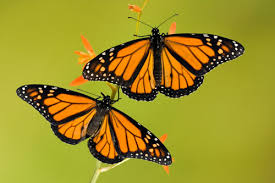 monarch butterfly site cycle migration pictures more