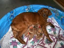 dark golden retriever puppies brown hair color dog breeds puppies