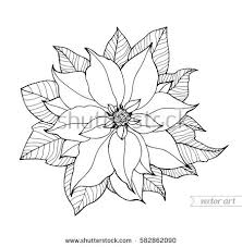 poinsettia coloring pages poinsettia isolated christmas flower vintage vector stock vector