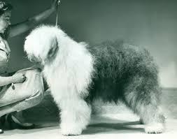 belgian sheepdog training old english sheepdog history u0026 training temperament