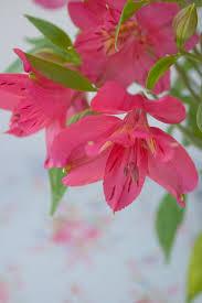 alstroemeria flower alstroemeria a lasting cut flower flowerona