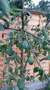 Patio Fruit Trees Uk by Leaf Curl On Fruit Tree Gardening Forum Gardenersworld Com