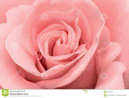 Pink Color The Beautiful Rose Flower Delicate Light Pink Color Closeup