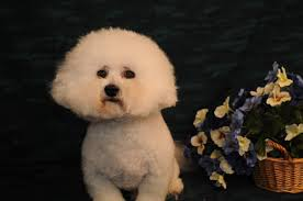 bichon frise breeders texas bichon frise adults in new mexico sweetwater bichon puppies in