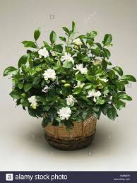 common gardenia or cape jasmine gardenia jasminoides rubiaceae