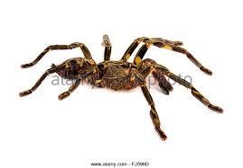 tarantulas stock photos tarantulas stock images alamy