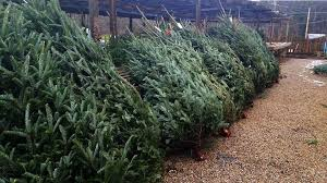 real christmas trees for sale winter plants for sale at a m garden centre throughout real