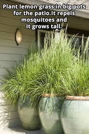 plant lemon grass in big pots for the patio it repels mosquitoes