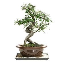brussel u0027s bonsai sago palm indoor dt 8028sp the home depot