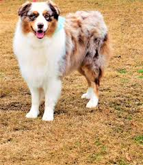 australian shepherd dog puppies puppies for sale arkansas dog breeder australian shepherd akc