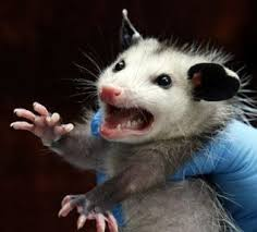 Possum In My Backyard That Opossum In Your Yard They May Be Ugly But They Aren U0027t Dumb