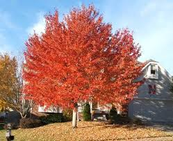 october maple tree in the front yard ornamental