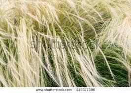 mexican feather grass nassella tenuissima stipa stock photo