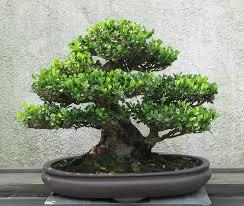 where can i buy the best bonsai plants in bangalore bengaluru