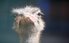 ostrich 1080p windows download awesome collection of handpicked