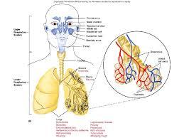 Human Respiratory System Anatomy And Physiology 7 Respiratory