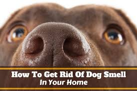 how to get rid of dog smell 1 jpg