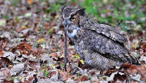 what do great horned owls eat great horned owls diet and feeding