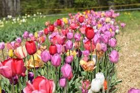 tulips buy bulk save ecotulips