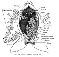 diagram frog dissection diagram labeled