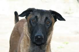 belgian shepherd dog temperament free images cute pet domestic animal animals vertebrate