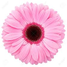 pink flower pink flower of gerber isolated stock photo picture and royalty