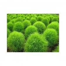 ornamental grasses seeds seeds gallery