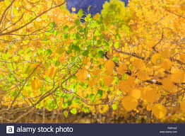 beautiful fall color june lake loop california stock photo