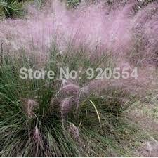 5pcs lot ornamental grass purple muhly grass muhlenbergia capillaris